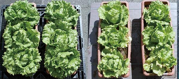 有機質肥料と、発酵途上の動物質堆肥との比較写真