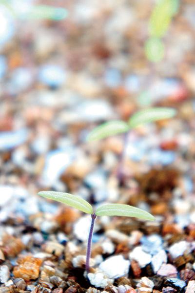 土から出る芽写真