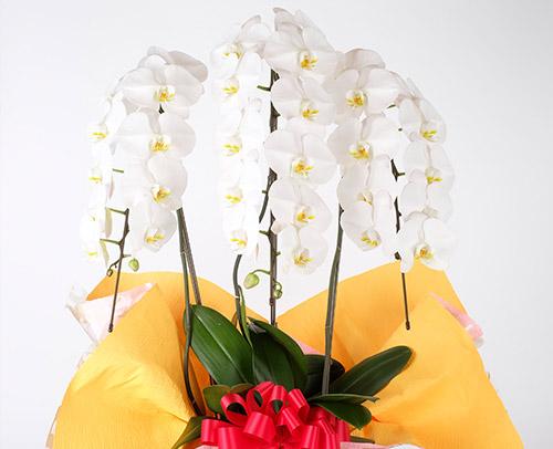 胡蝶蘭「大輪白」画像