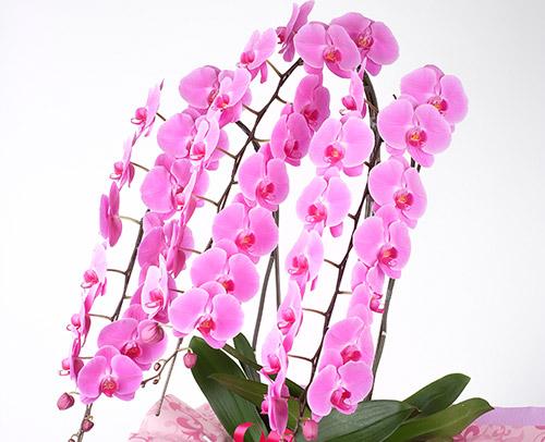 胡蝶蘭「大輪ピンク」画像