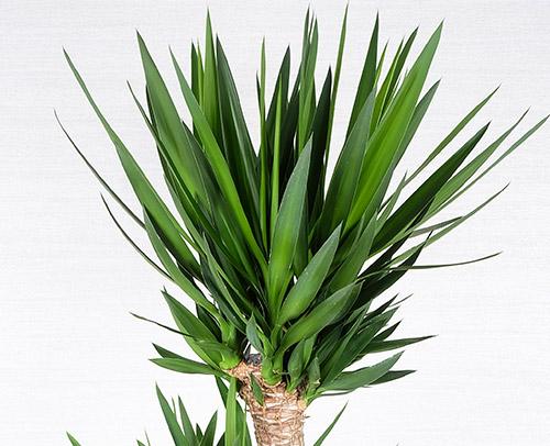 観葉植物「ユッカ」画像