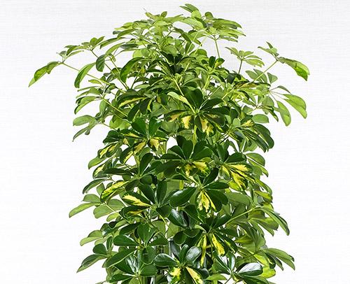 観葉植物「カポック」画像