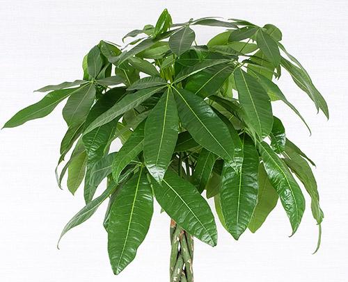 観葉植物「パキラ」画像